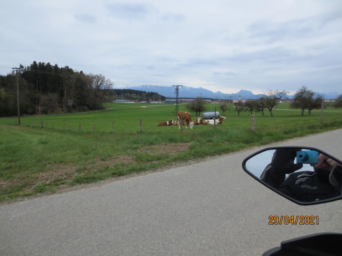 Glückliche Kühe am Simssee.
